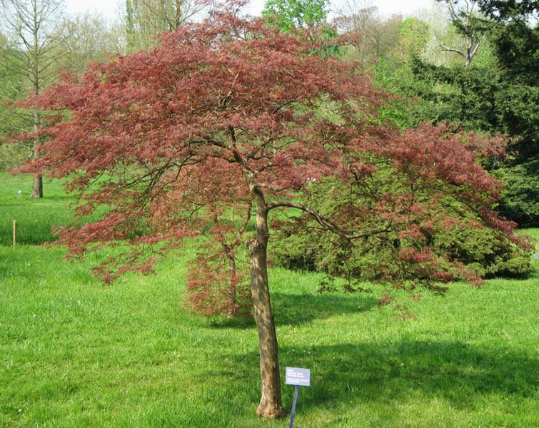 Arbres et arbustes - Erable du Japon -