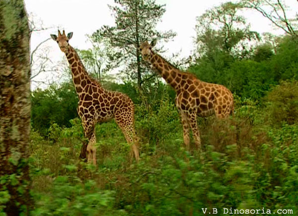Ii etait une fois les mammiferes page 3 for Prix d une girafe a poncer