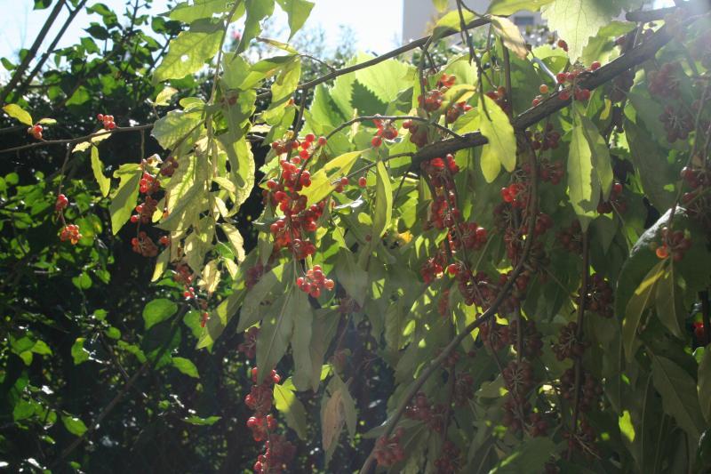 Elaeagnus philippensis, petits fruits rouges pour la Toussaint Elaeagnus-philipp...oct-2010-21c3def