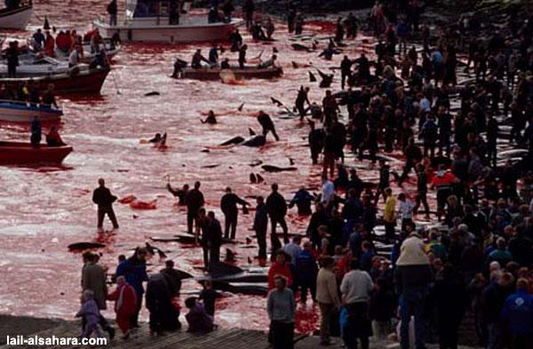 No Futur - la terre au 21° siecle - Page 3 Massacre-dauphin-danemark4-7bccd3