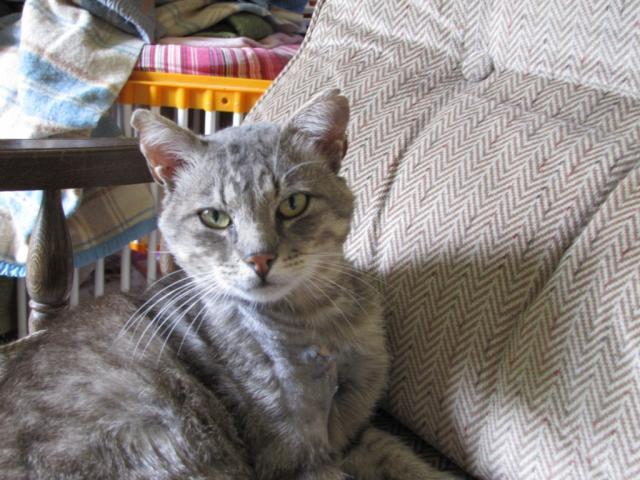 Spider chat tigré gris mâle FIV+ de 08/2005 - dpt 56 Img_0230-1e97545