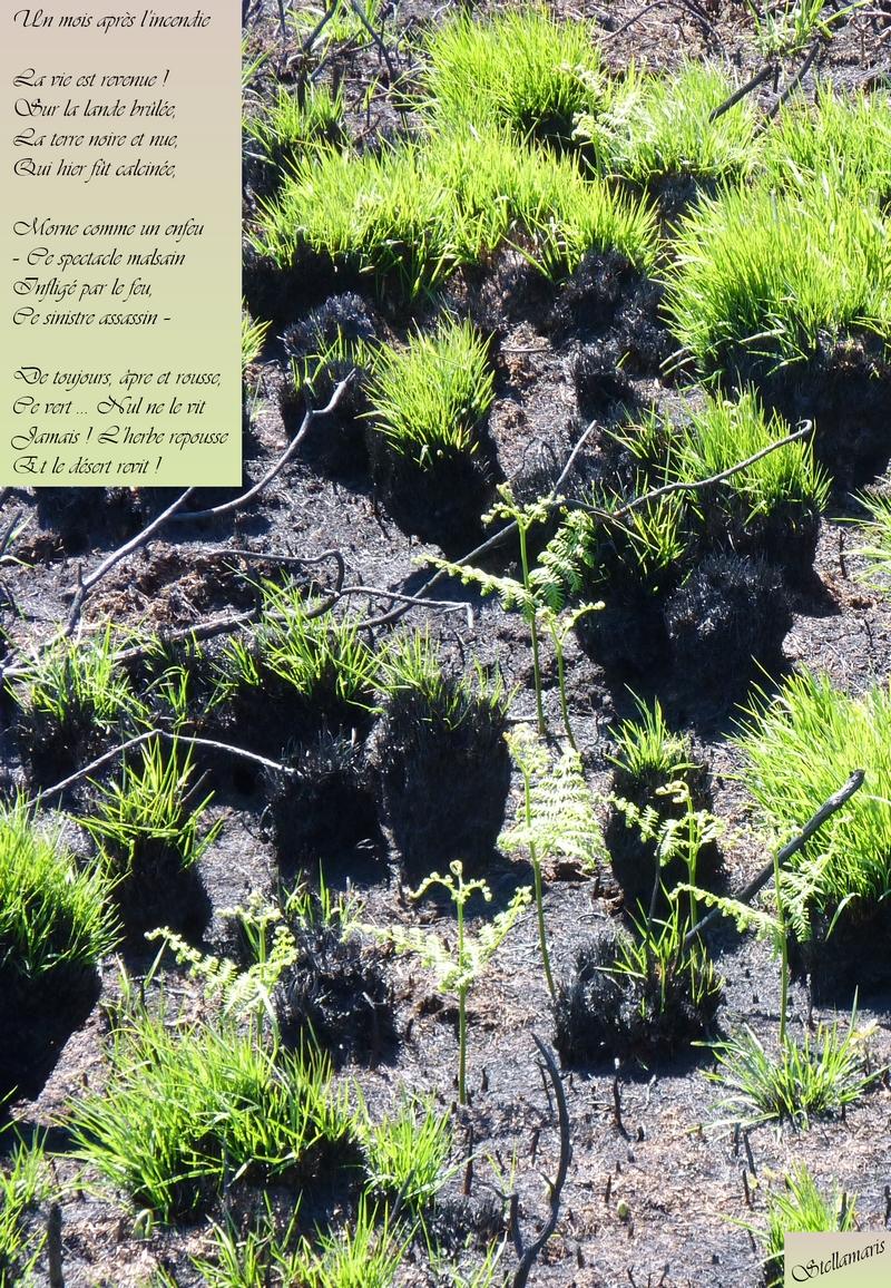 Un mois après l'incendie / / La vie est revenue ! / Sur la lande brûlée, / La terre noire et nue, / Qui hier fût calcinée, / / Morne comme un enfeu / – Ce spectacle malsain / Infligé par le feu, / Ce sinistre assassin – / / De toujours, âpre et rousse, / Ce vert … Nul ne le vit / Jamais ! L'herbe repousse : / Et le désert revit ! / / Stellamaris