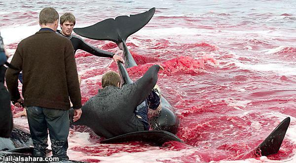No Futur - la terre au 21° siecle - Page 3 Massacre-dauphin-danemark8-7bccdf