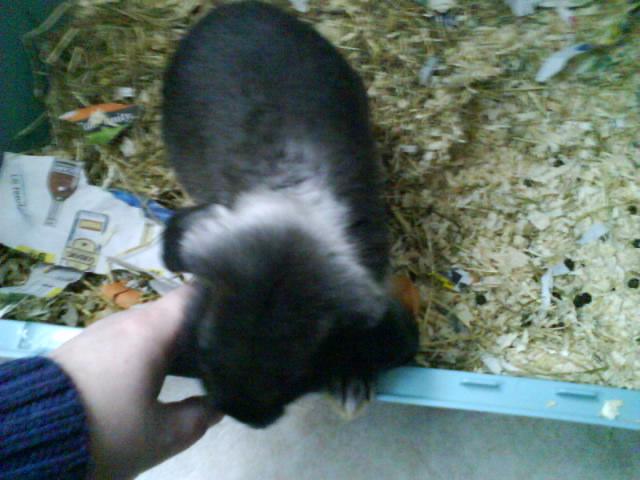 petit lapin male belier noir a collier sur longwy Dsc00289-1618036