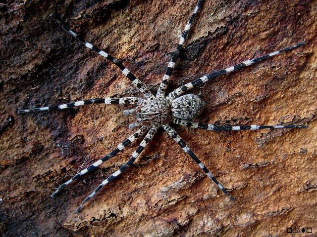 Viridasius silvestriformes Viridasius2-1e1c5aa