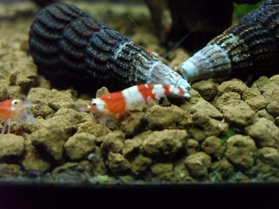 ma shrimproom et fishroom Sdc12065-1d0f4bb